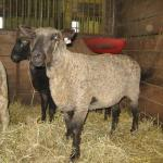 Jennifer also owns Leicester sheep, which are an endangered breed.